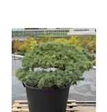 Pinus parviflora, 73 cm, ± 35 years old