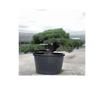 Pinus parviflora, 80 cm, ± 35 jaar oud