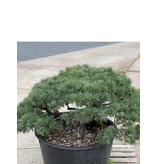 Pinus parviflora, 80 cm, ± 35 years old