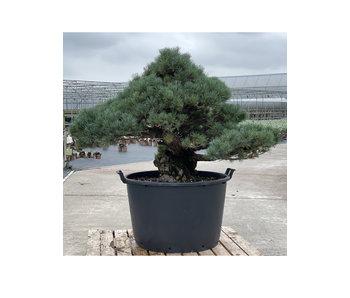 Pinus parviflora, 95 cm, ± 35 Jahre alt