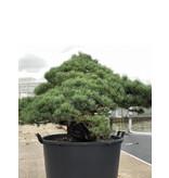 Pinus parviflora, 95 cm, ± 35 jaar oud