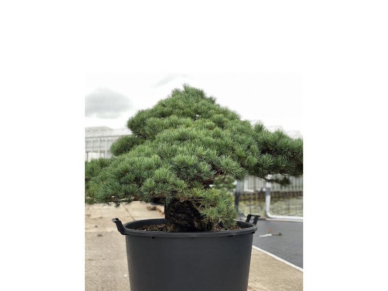 Pinus parviflora, 95 cm, ± 35 years old