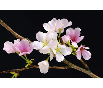 Fotobehang Poster XXL Cherry Blossoms 175x115 cm