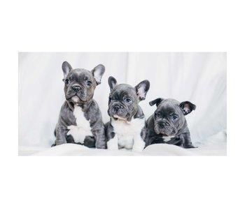 Animal Pictures Strandtuch Französische Bulldoggen 70x140 cm