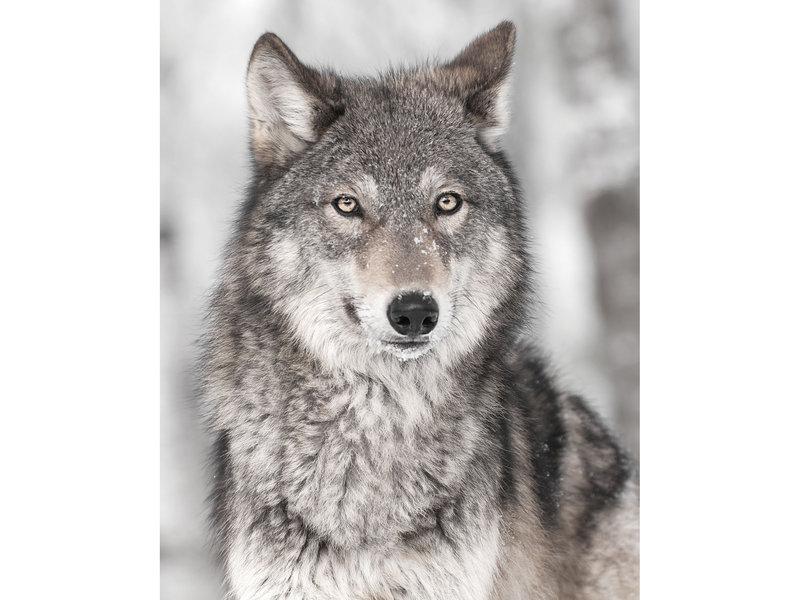 Animal Pictures Couverture en flanelle douce Wolf - 120 x 150 cm - Gris