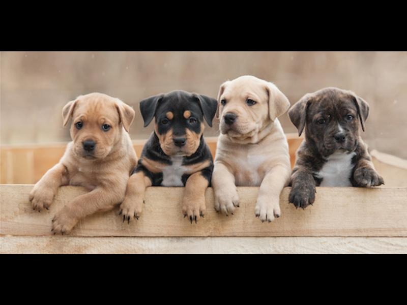 Animal Pictures Strandlaken Puppies - 70 x 140 cm - Multi