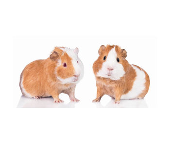Animal Pictures Strandtuch Cavia 70 x 140