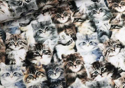 Windham Cotton whistler kittens