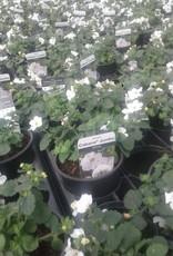 Bacopa kleur wit
