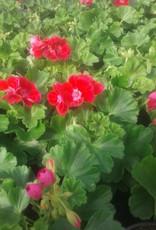 Geranium kleur rood