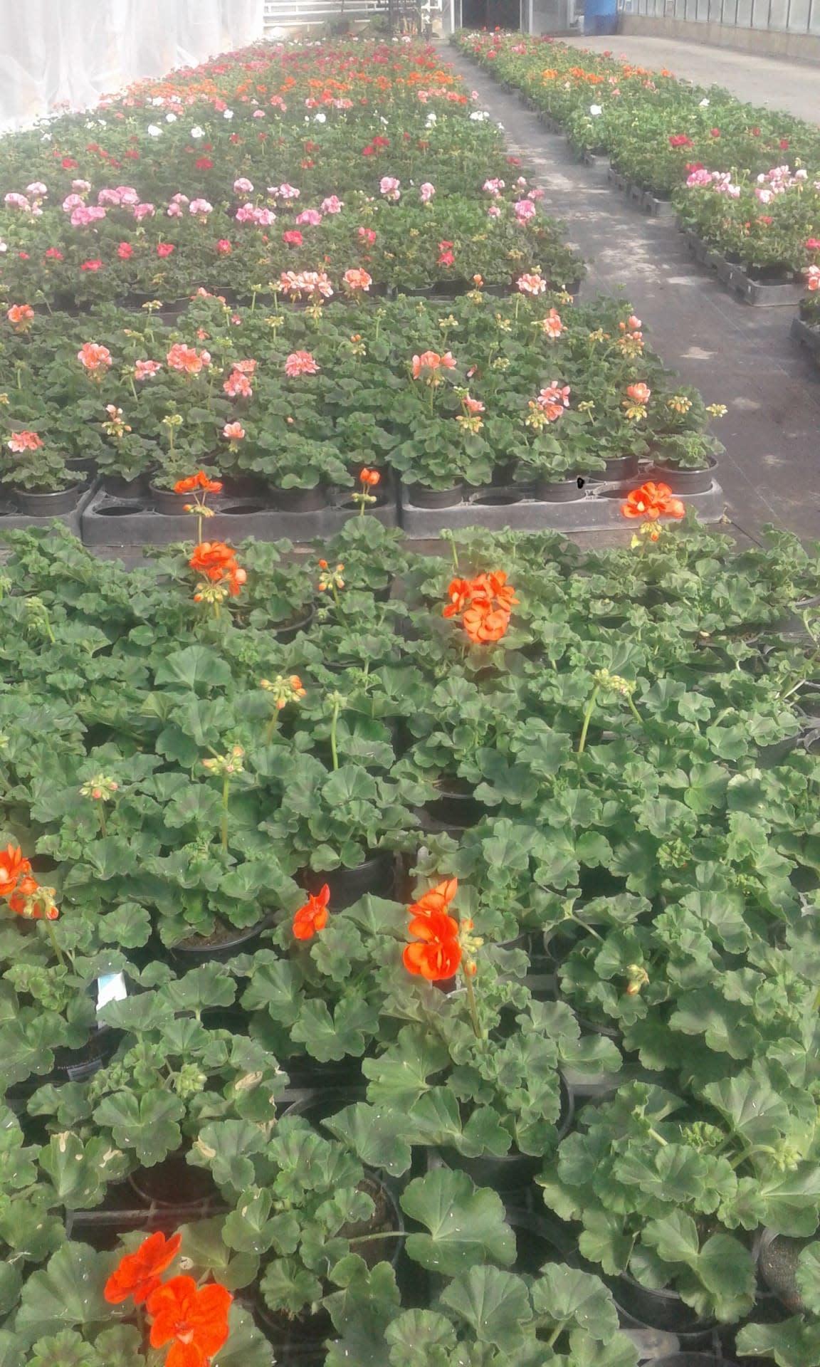 Geranium kleur oranjerood