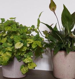 Set van 2 kamerplanten in pot