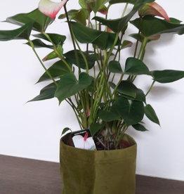 Anthurium Amalia Elegance + mandje
