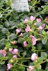 Bacopa roze