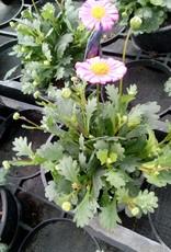 Brachyscome roze