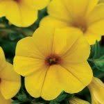 Callie deep yellow