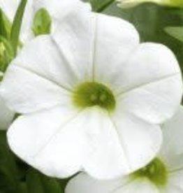 Callie white