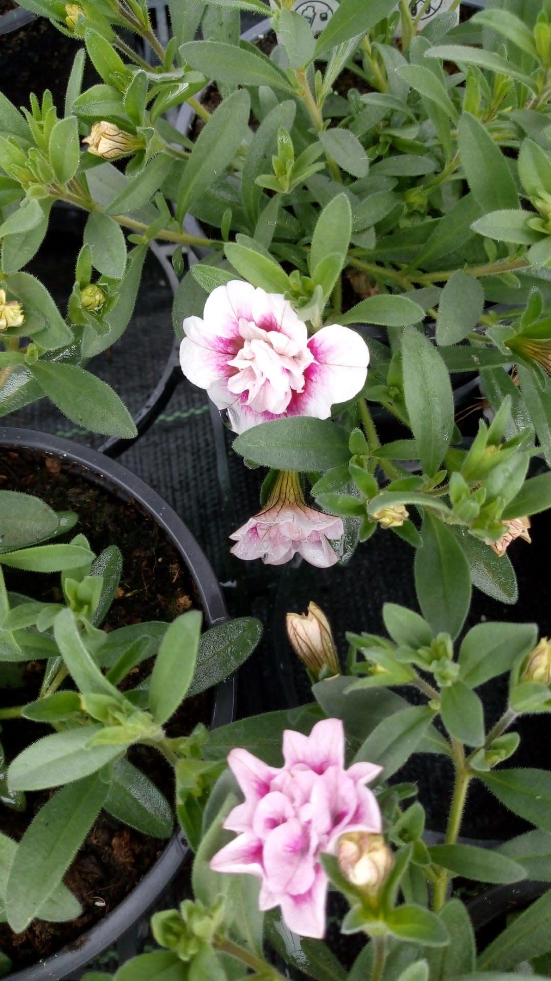Double wit roze