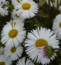 Erigeron white