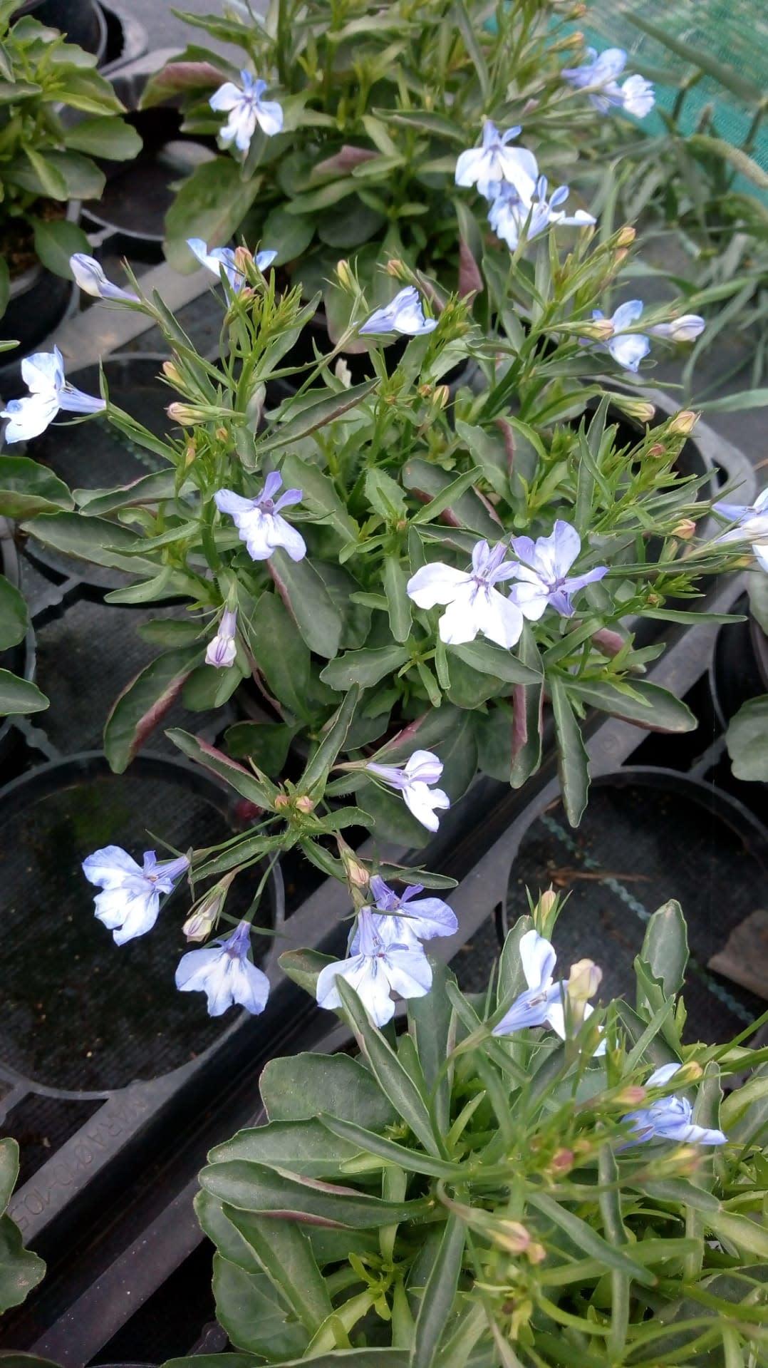 Lobelia witblauw