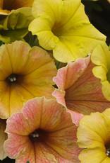 Petunia indian summer