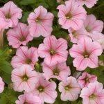 Petunia Littletunia pink