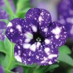 Petunia nightsky