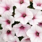 Petunia Vista silverberry