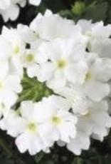 Verbena compact white