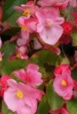 Begonia semperflorens groenblad