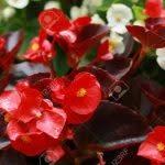 Begonia semperflorens cultorum in the garden