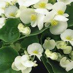 Begonia wit met groenblad