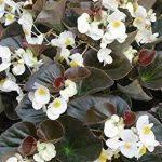 Begonia wit met donker blad