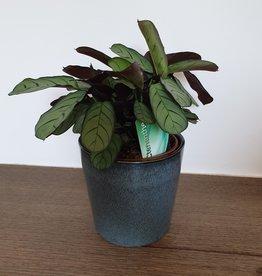 blauwe pot + Ctenanthes