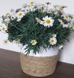 Argyranthemum in mand