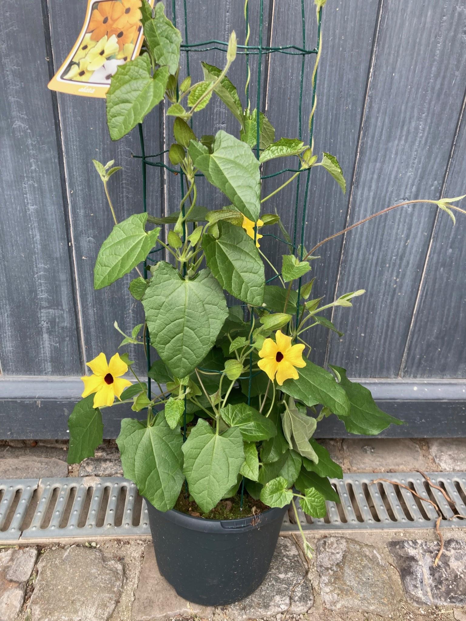 Thunbergia geel (Suzanne-met-de-mooie-ogen) Ø 23 cm h 80 cm