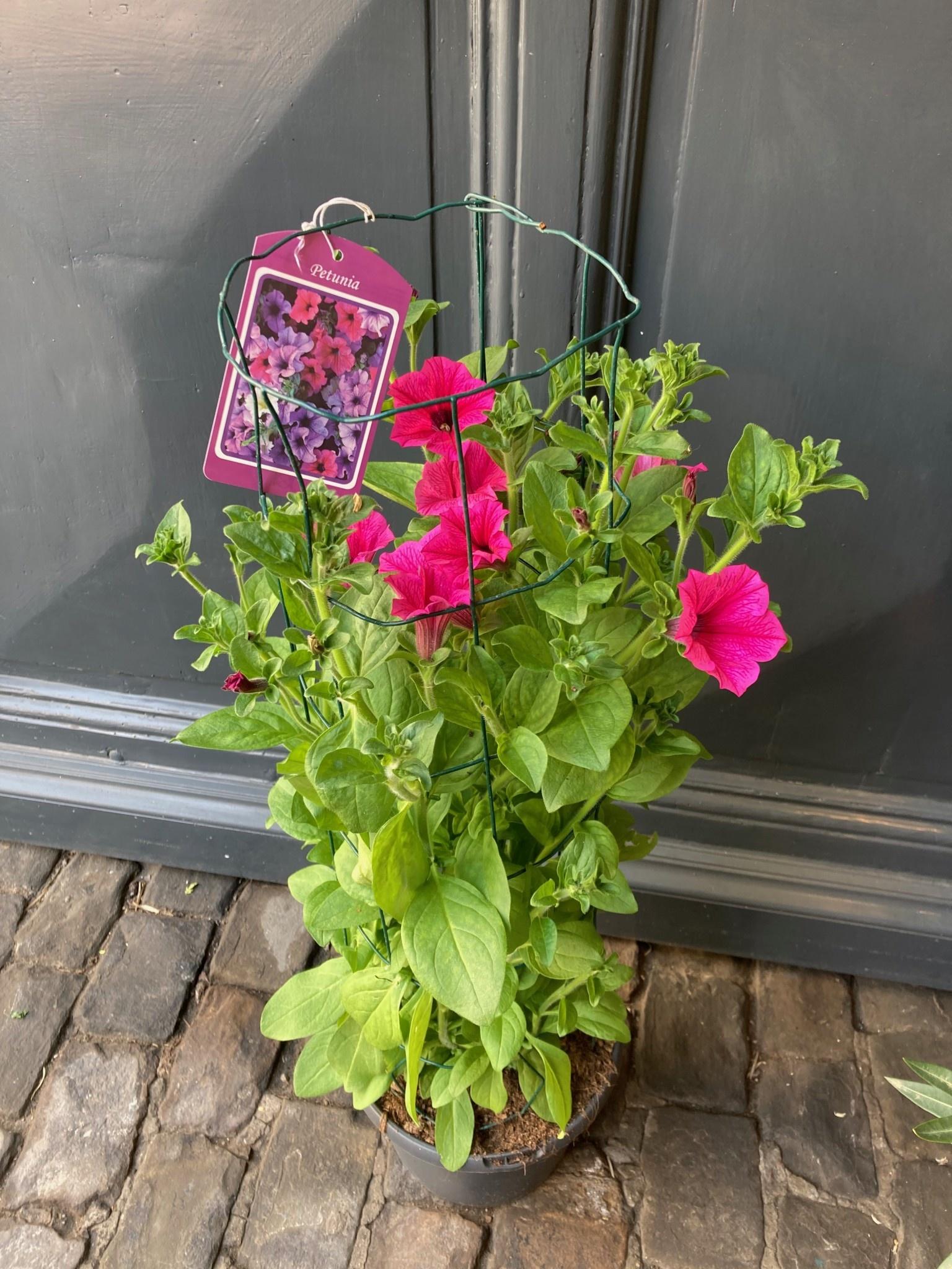 Surfinia roze op draad  (Hangpetunia)Ø23cm h 80cm