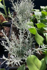 Kerryplant