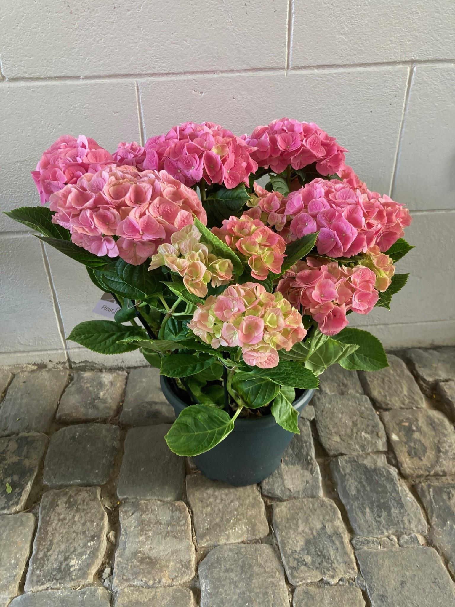 Hydrangea roze