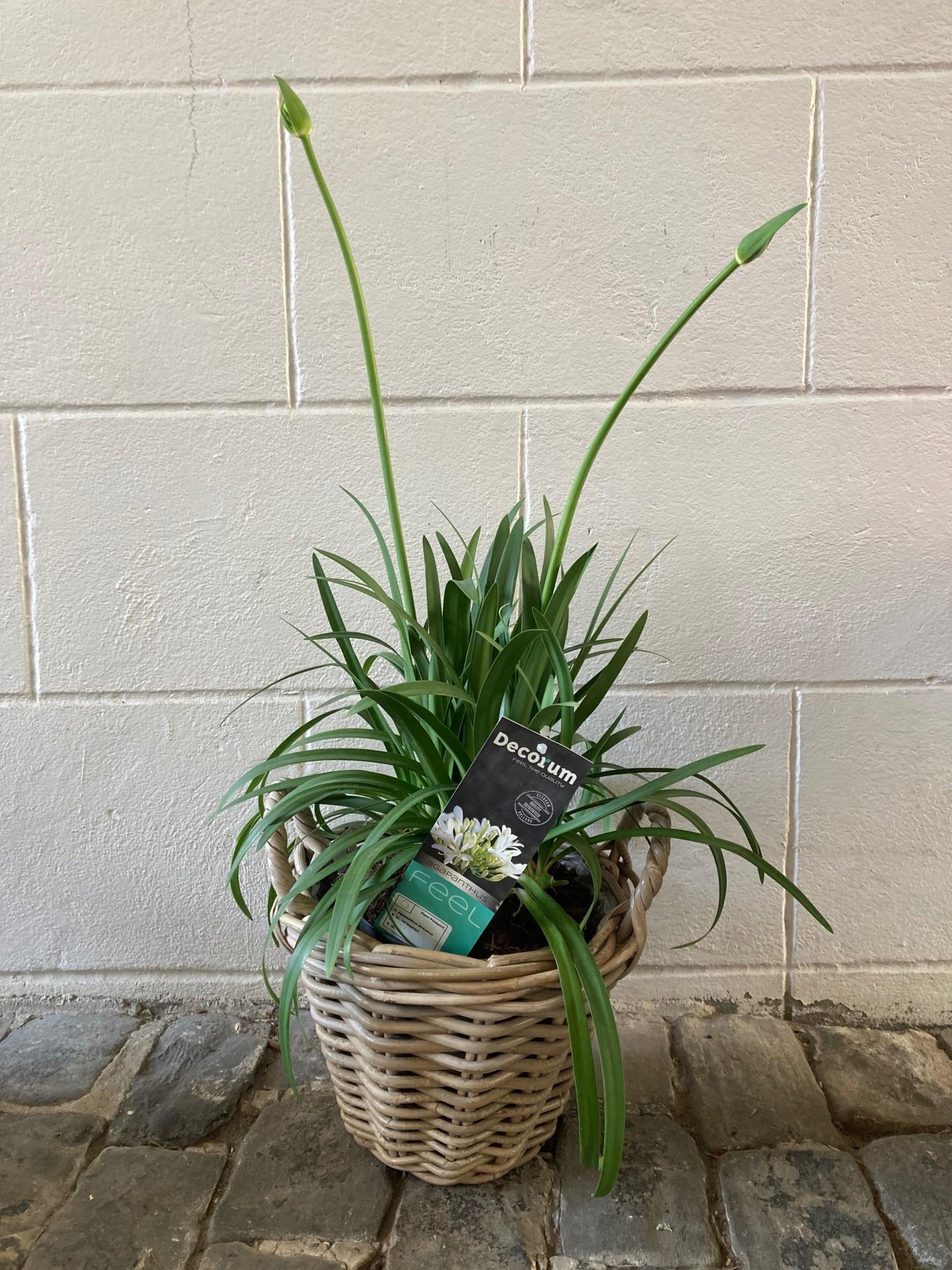 Agapanthus wit+ Rotan pot d25*19cm