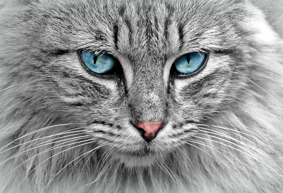 extra grote brok voor grote volwassen (maine coon) katten. - specimal.nl
