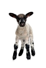 Degomeat lam Mix - Deze vers vlees (kvv) mix bevat 52% lamsvlees.