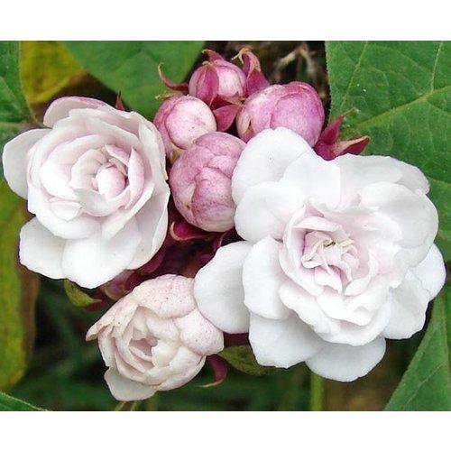 Bloemen-flowers Clerodendrum philippinum - Peanut Butterplant