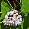 Bloemen-flowers Clerodendrum philippinum - Pindakaasplant