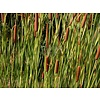 Siergrassen-ornamental grasses Typha angustifoli