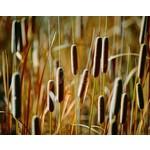 Siergrassen-ornamental grasses Typha angustifoli