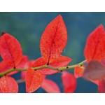 Eetbare tuin-edible garden Vaccinium corymbosum Bluegold