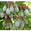 Eetbare tuin-edible garden Vaccinium corymbosum Brigitta Blue