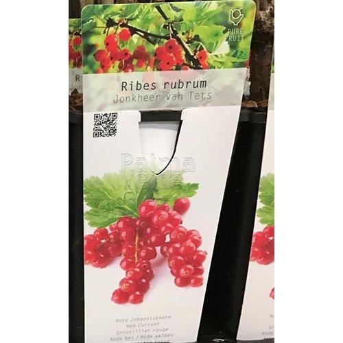Eetbare tuin-edible garden Ribes rubrum Jonkheer van Tets - Aalbes