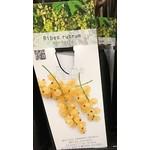 Eetbare tuin-edible garden Ribes rubrum Werdavia - Witte aalbes